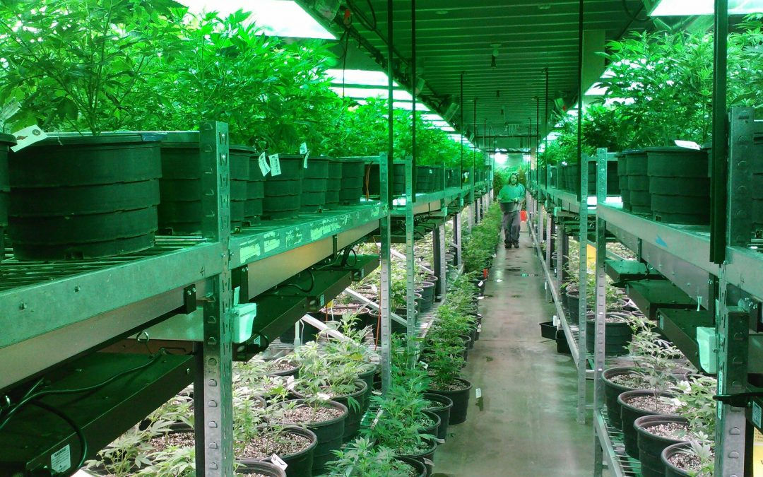 Seven Cannabis Companies That Can Deliver over 100,000 Kilos Per Year