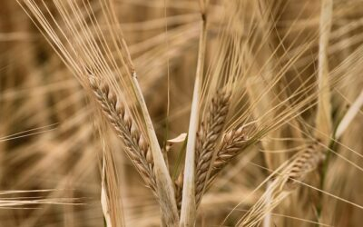 barley-4401524_640-400x250 Blog